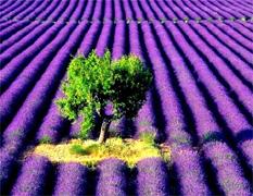 Lavender & Herb Oils