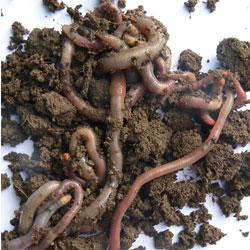 Native Earthworms