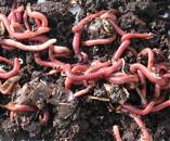 Dendrobaena Worms